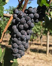 chehalem-pinot-noir-grapes.jpg