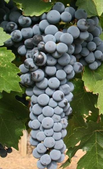 red-mountain-cabernet-sauvignon-grapes-from-hedge-vineyards.jpg